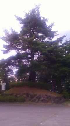 永明寺山公園で一番目立つ木(2012年7月18日のりくん撮影)