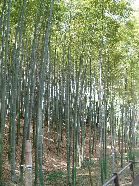 近くにある見沼通船堀公園の竹林。平吉が竹を切った竹藪を彷彿とさせる(2013年4月11日やっさん撮影)